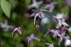Epimedium  'Akebono' (Barrenwort)