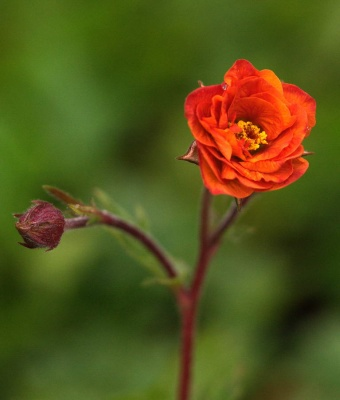 Geum  'Dark and Stormy (Cocktail Series)'