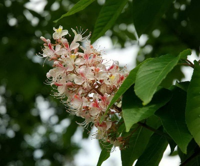 Aesculus indica '(Smaller plants)'