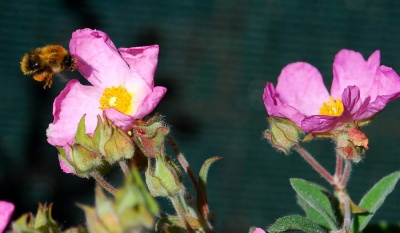 Cistus x lenis 'Grayswood Pink (syn. Silver Pink)' (Rock Rose)
