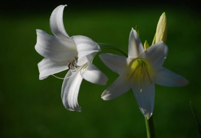Crinum powellii 'album' (Swamp lily)
