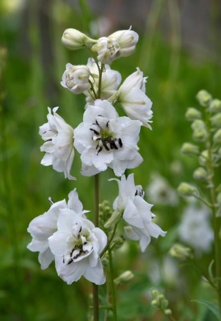 Delphinium  'Black-eyed Angels (New Millenium Series)'