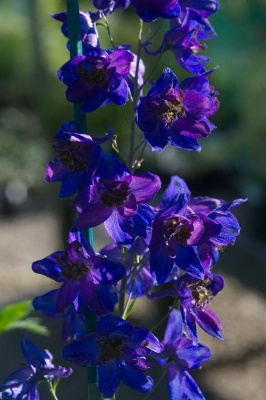 Delphinium  'Magic Fountain Series Dark Blue with Black Bee' (Delphinium)
