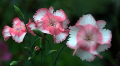 Dianthus  'Old Square Eyes'