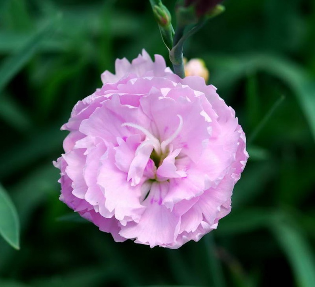 Dianthus  'Pike's Pink'