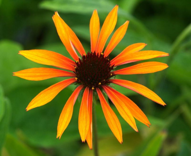 Echinacea  'Orange Passion'