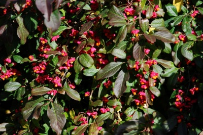 Euonymus europaeus 'Red Cascade' (Spindle)