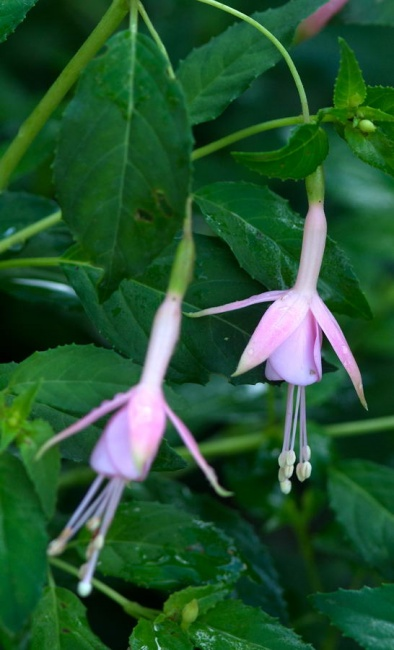 Fuchsia  'Mrs W.P. Wood'