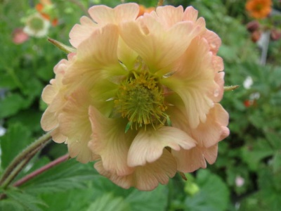 Geum  'Apricot Pearl'