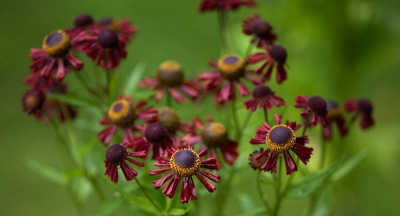 Helenium  'Ruby Tuesday'