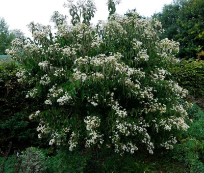 Heptacodium miconioides (Seven Son Flower of Zhejiang)