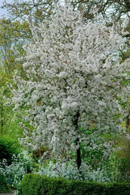 Malus  'Evereste(Small plants)'