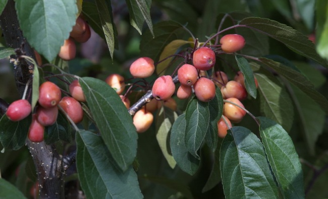 Malus  'Indian Magic'