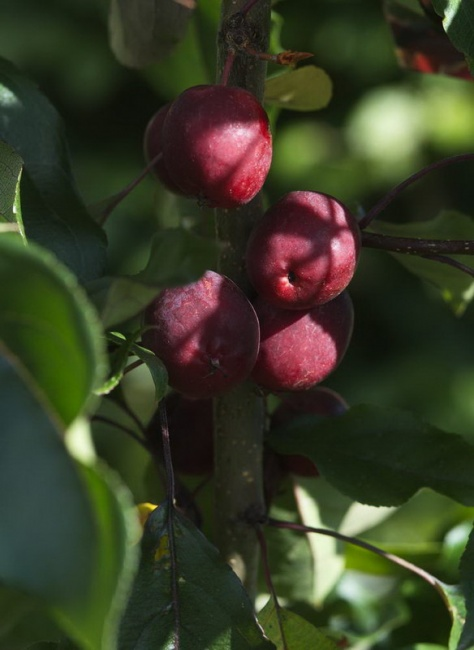 Malus x robusta 'Dolgo (Syn. Pink Glow) M27 rootstock'