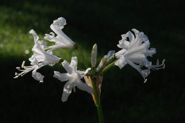 Nerine undulata '(Flexuosa Group) Alba'