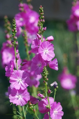 Sidalcea malviflora 'William Smith'