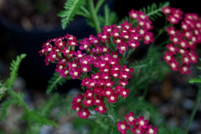 Achillea millefolium 'Red Beauty'