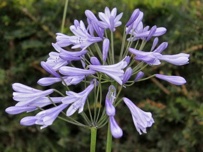 Agapanthus  'Dokter Brouwer'