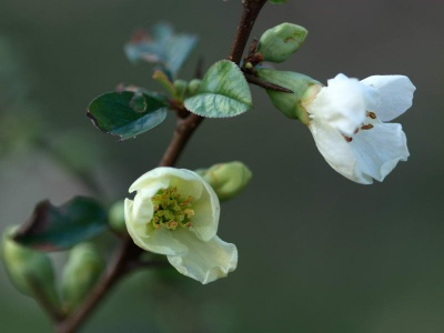 Chaenomeles x superba 'Lemon and Lime'