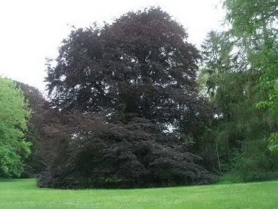 Fagus sylvatica 'Atropurpurea Group'