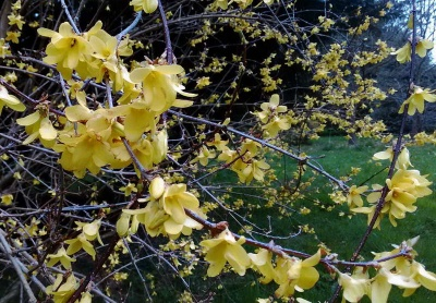 Forsythia suspensa 'Nymans'