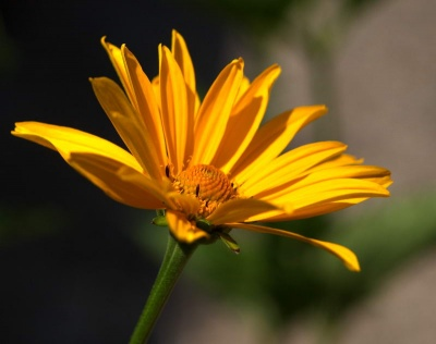 Heliopsis helianthoides 'New Hybrids'