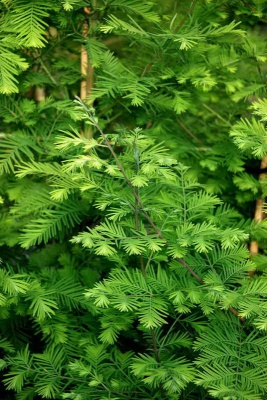 Metasequoia glyptostroboides '(smaller plants)'