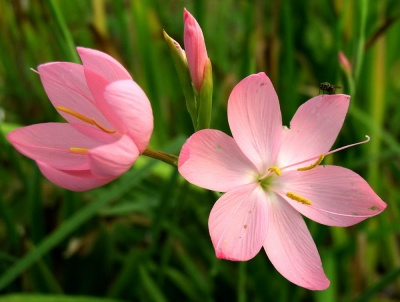 Hesperantha coccinea 'Wilfred H. Bryant (Syn.'Pink Princess')'