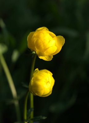 Trollius  'Lemon Supreme' (Globe flower)